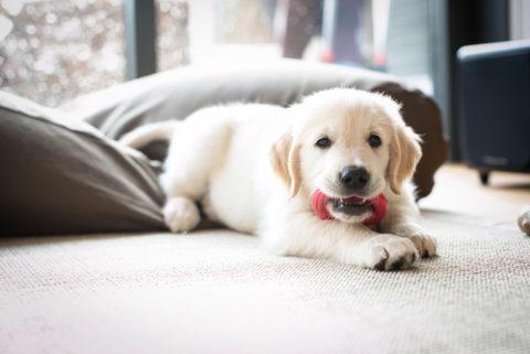 Hoe bereid je je huis voor op de komst van een pup?